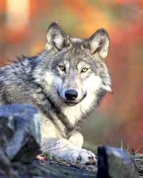 Od vlka k psovi